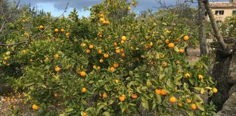 Mallorca apelsinträd