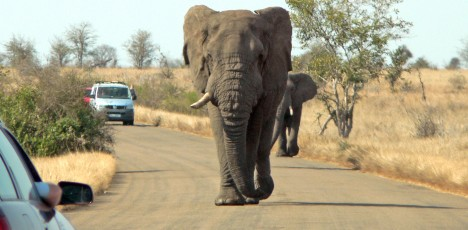 elefant på väg